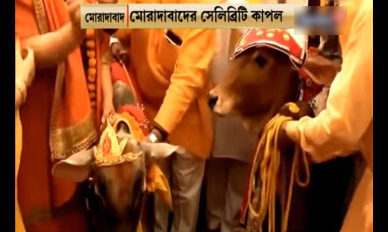 ভারতে বলদের সঙ্গে 'গো মাতা'র বিয়ে! (ভিডিও)